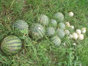 スイカ、メロンの収穫